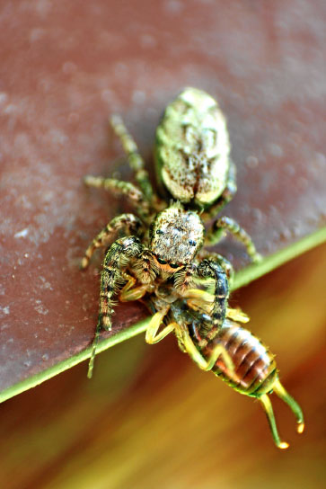 Jumping spider with earwig